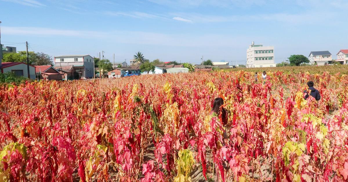 【台南學甲】唸戀學甲蜀葵花海~走在一丈紅迷宮|台南最美的紅藜花海