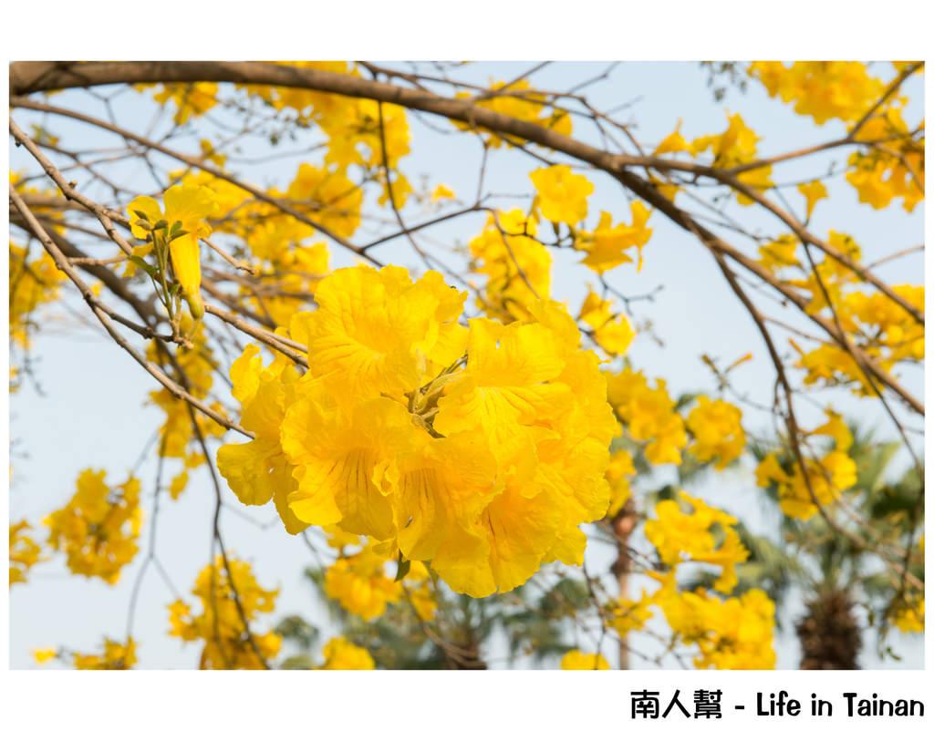 林森路黃風鈴木