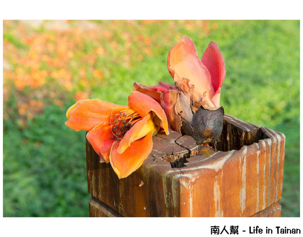 【台南市東區-風景】巴克禮公園內的 # 木棉花 #