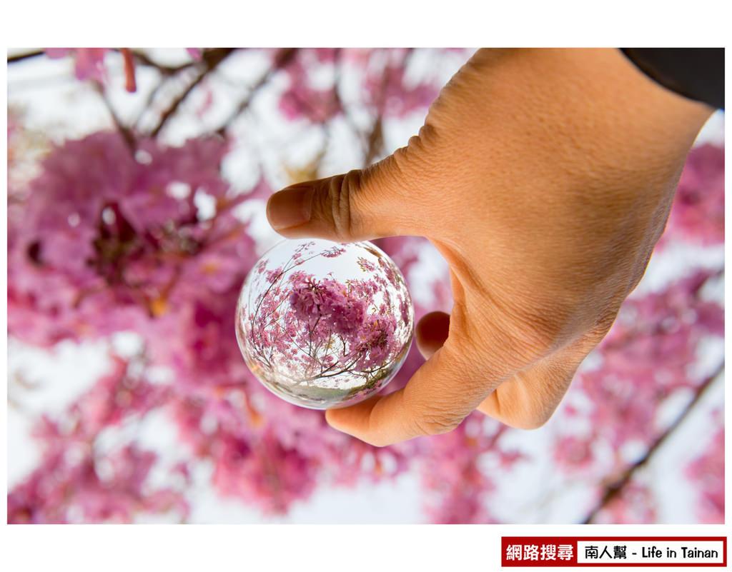【台南市東區-景點】東豐路上的 #黃風鈴木、洋紅風鈴木、木棉花#
