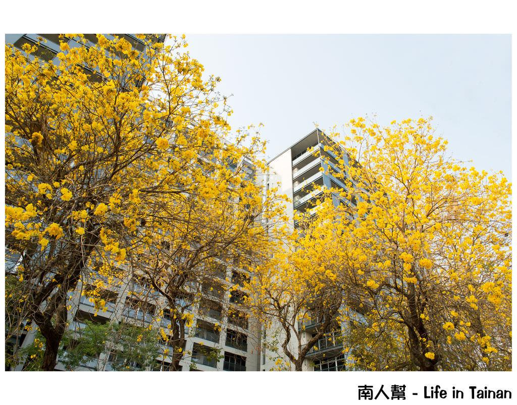 【台南市東區-風景】黃風鈴木(林森路與長榮路口)
