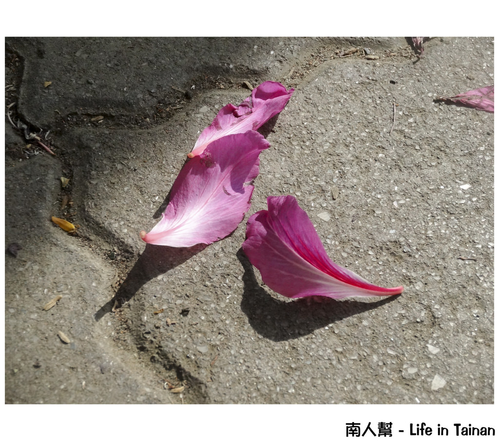 光華高中旁羊蹄甲
