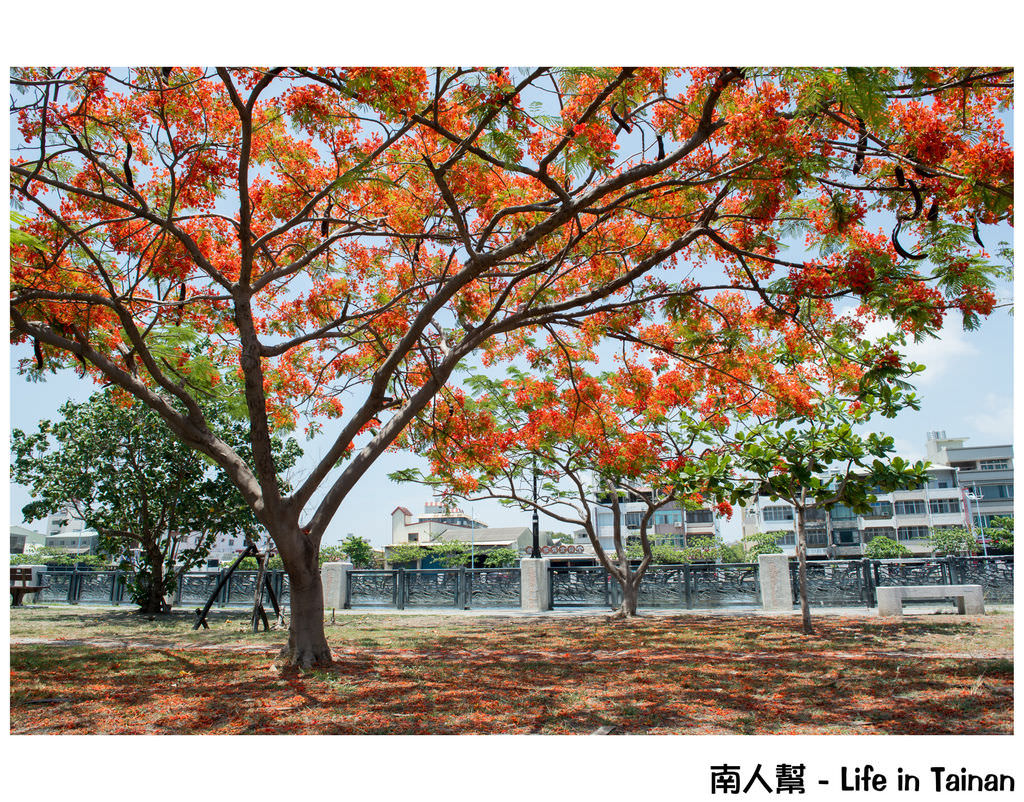 【台南市安平區-花木】紅紅一整片,超好拍的地方#鳳凰花#(臨安橋旁)
