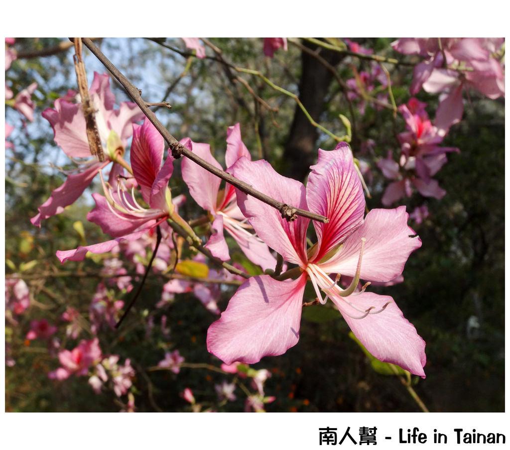 【台南市安平區-風景】漁光島之# 羊蹄甲.苦楝木 #