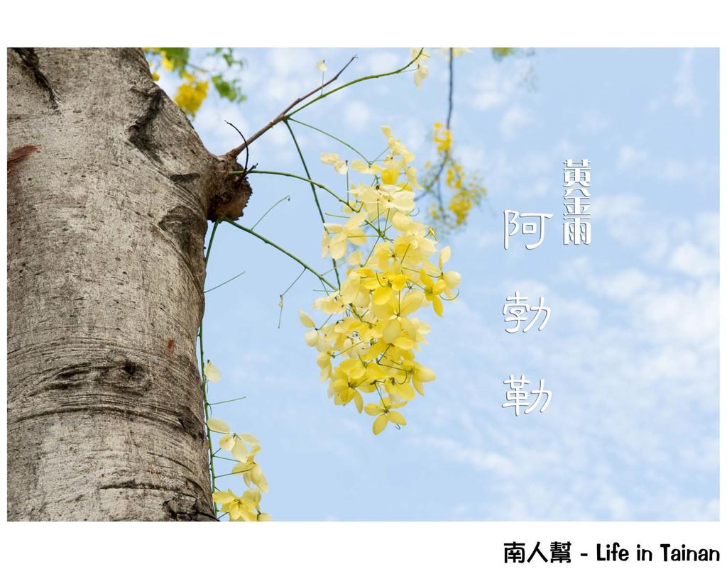 【台南不分區】賞花懶人包|初夏黃金雨 ~ 阿勃勒