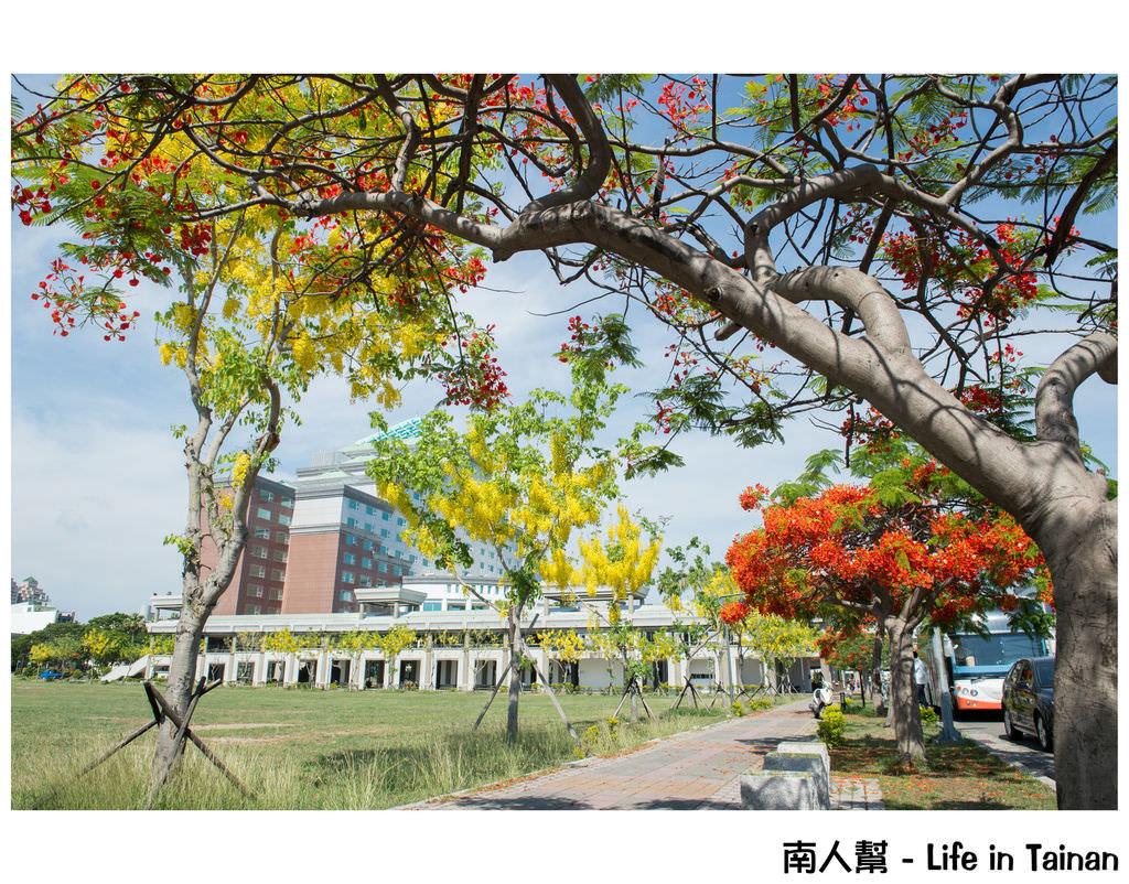 【台南市安平區-花木】在市政府前的#阿勃勒.鳳凰花#
