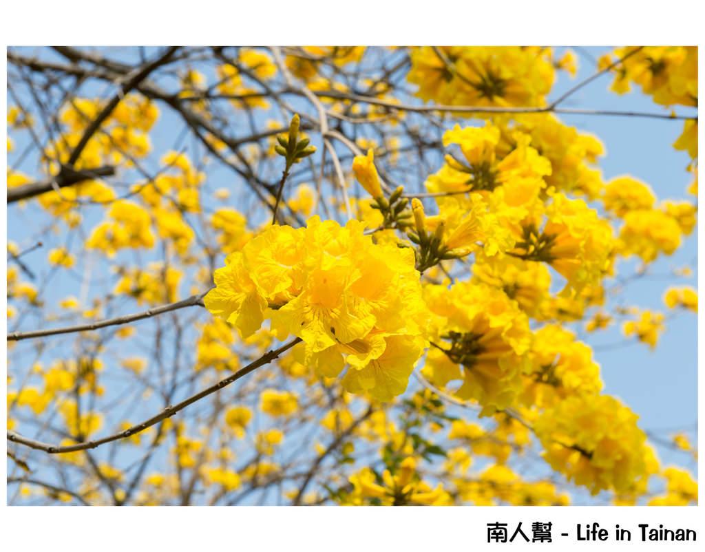 【台南市安平區-公園】億載公園裡花開了# 黃風鈴木.扶桑花.苦楝樹 #
